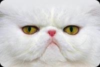 Mèo Trắng Mẫu Nền Thư