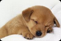 Chó Con Đang Nằm Ngủ Mẫu Nền Thư