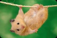 Chuột Nhỏ Đu Dây Mẫu Nền Thư