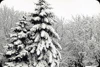 Thông Phủ Tuyết Trắng Mẫu Nền Thư