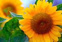 Hoa Hướng Dương Rạng Rỡ Mẫu Nền Thư