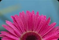 Hoa Cúc Và Những Giọt Sương Mẫu Nền Thư