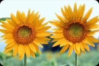 Hoa Mặt Trời Giúp Bạn Thêm Sức Khỏe Mẫu Nền Thư