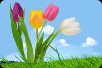 Hoa Tulip Chúc Bạn Nhiều Sức Khỏe Mẫu Nền Thư