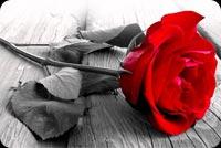 Bông Hồng Đỏ Mẫu Nền Thư